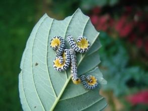 Caterpillar on dogwood